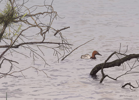 Canvasback duck, cloudy day, water, branches
