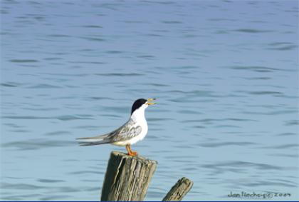 Artic Tern on old post chirps by the waterside