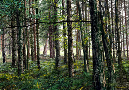 Manistee National Forest,deep wood, ferns,summer