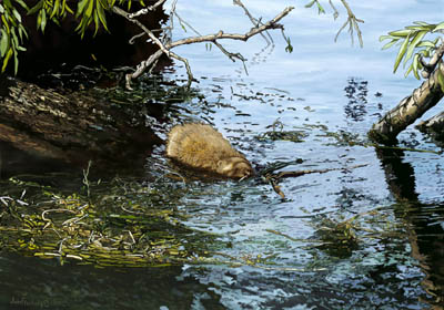 Muskrat scavenges willow leaves from tree fallen in the water