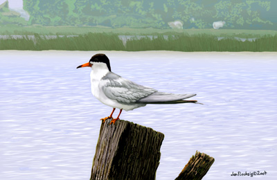 Artic Tern sits on a post by the Sny Bora Channel, Lake Saint Clair
